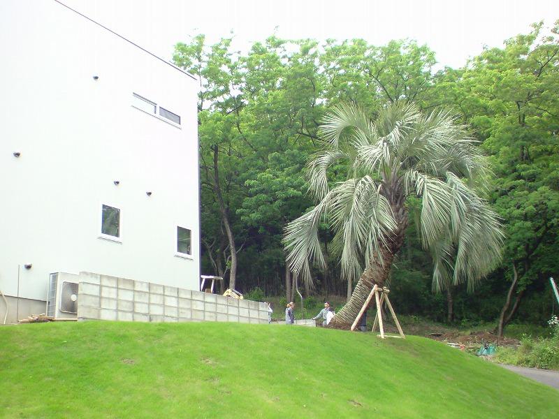 群馬県 ココスヤシ植栽