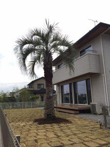 蓮田市内 ココスヤシ植栽