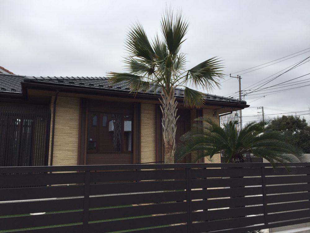 伊奈町内 サバルヤシ・ソテツ植栽