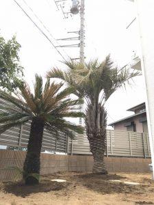 鴻巣市内 ココスヤシ・ソテツ植栽