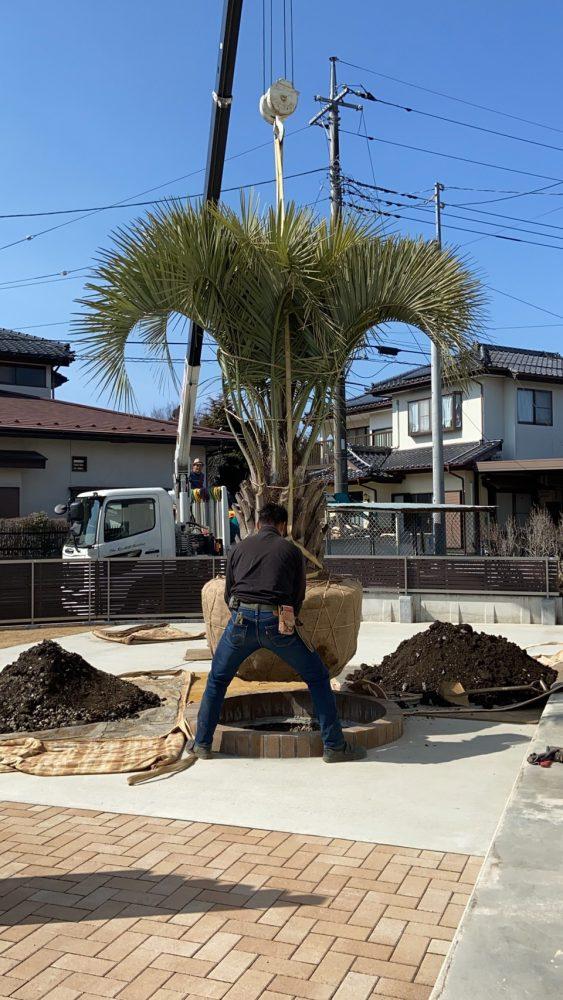 栃木県大田原市内 ココスヤシ植栽