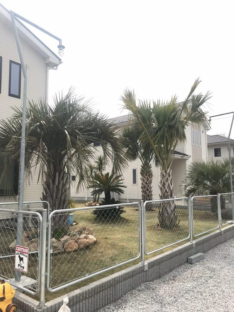 加須市内 オニサバルヤシ植栽